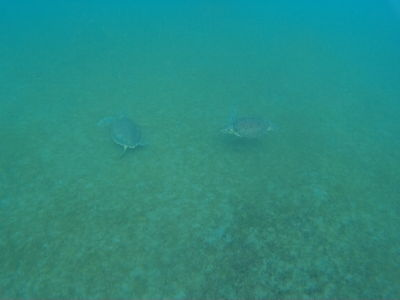 Korytnačky sa pasú v zátoke pri pláži Malendure