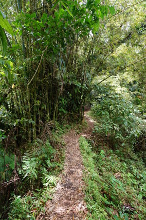 Cestička k vulkánu La Soufrière, nechýbajú ani bambusy