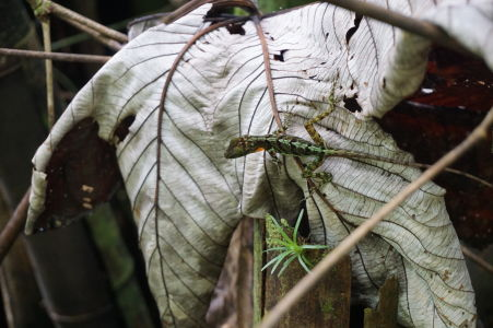 Na ceste k La Soufrière stretnete rôzne gekony a jašterice