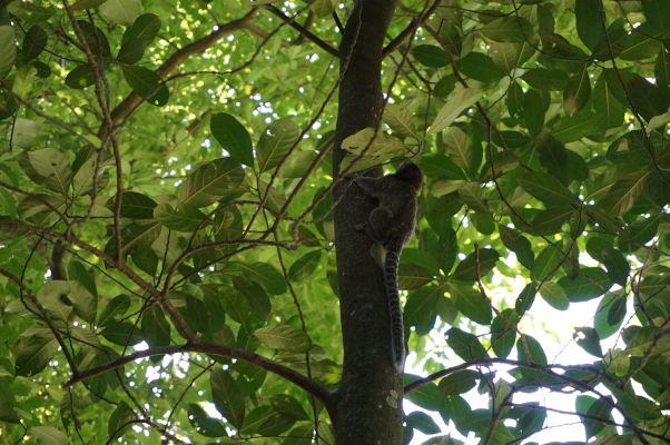 Cestičkou v džungli na horu Corcovado v Riu de Janeiro je možné zahliadnuť miestnu faunu a flóru - tieto opičky sú tu dosť rozšírené