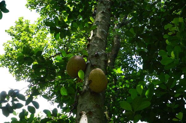 Cestičkou v džungli na horu Corcovado v Riu de Janeiro je možné zahliadnuť miestnu faunu a flóru - ovocie chlebovníka je väčšie ako melón