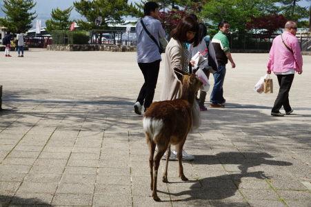 Jeleň prenasleduje turistov v Icukušime