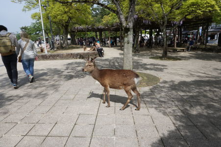 Jeleň v Icukušime