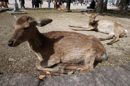 Jelene v Icukušime