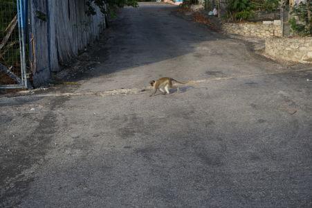 Opice pobehujúce po ulici neďaleko Paradise Beach