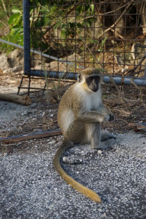 Opice neďaleko Paradise Beach