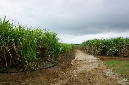Plantáž s cukrovou trstinou