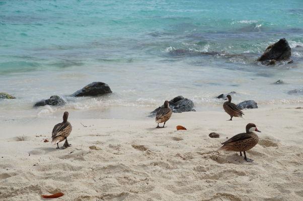 Pláž Sapphire Beach na ostrove Svätý Tomáš obľubujú i tieto kačičky