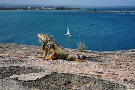 Leguán na múre pevnosti si vychutnáva výhľad na záliv