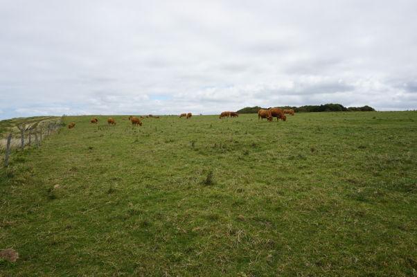 Kravy pasúce sa na vrchole útesu Amont pri Étretate