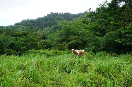 Veľa obyvateľov na Dominike sa venuje chovu dobytka