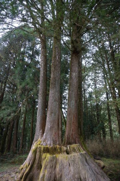 Prírodný park Ališan - stromy nazývané Štyri sestry (Four sisters) - na pni kedysi veľkého cypru sa po jeho zrútení uchytili hneď štyri semienka a vyrástli tu štyri nové stromy