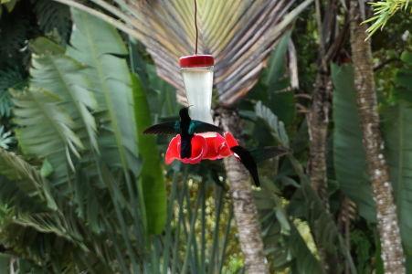 Kolibríky v botanickej záhrade Jardin de Balata na Martiniku