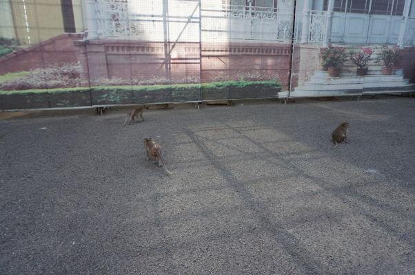 V areáli Kráľovského paláca v Phnom Penhu žije malá skupinka opičiek