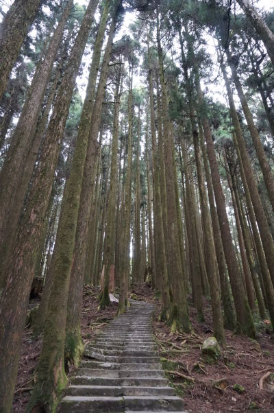 Cyprusový les v Ališane