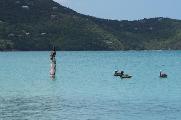 Pláž Magens Bay Beach na ostrove Svätý Tomáš - obľubujú ju i pelikány