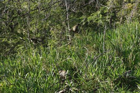 Všadeprítomné opice na Brimstone Hill