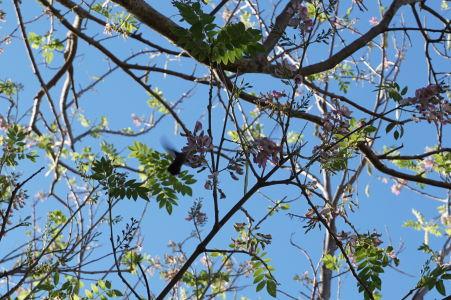Kolibrík pije z kvetov na Brimstone Hill