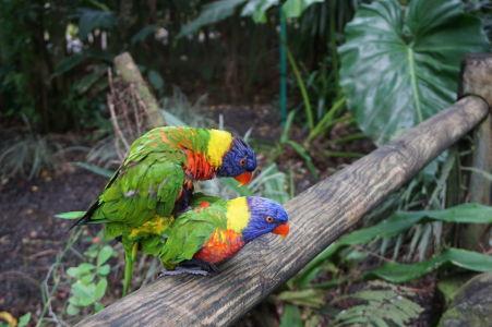 Lori pestrofarebný v akcii v botanickej záhrade na Guadeloupe
