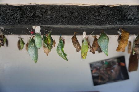 Motýlia farma na Svätom Martine - kukly čakajúce na to stať sa motýľmi
