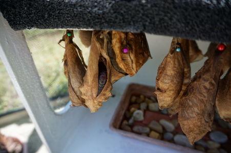 Motýlia farma na Svätom Martine - kukly čakajúce na to, aby sa stali motýľmi