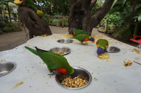 Lori pestrofarební sa kŕmia v botanickej záhrade na Guadeloupe