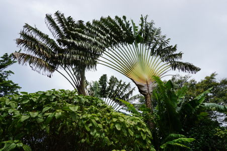 Vejárovitá palma bola veľmi dôležitou rastlinou, spracovať či skonzumovať sa dajú všetky jej časti