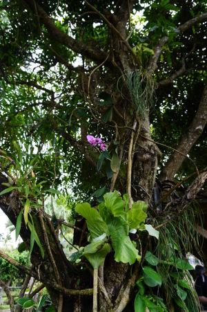 Orchidea ako parazit na strome