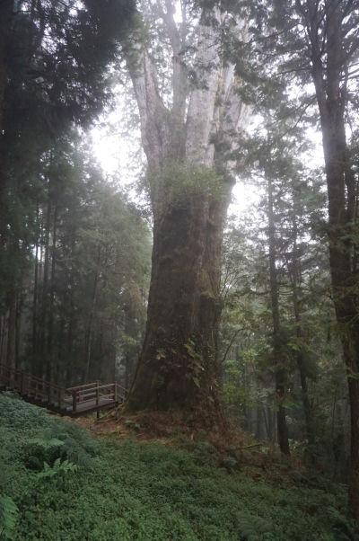 Prírodný park Ališan - strom číslo 28, najväčší (44 metrov) a najstarší (2000 rokov) strom v celom parku