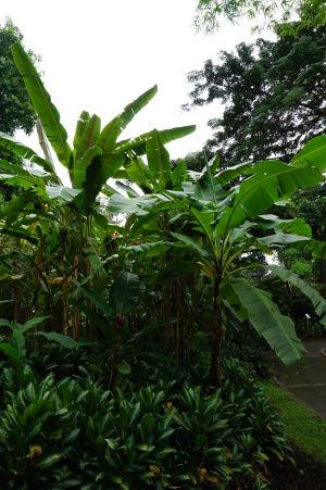 Banánovníky v botanickej záhrade na Guadeloupe