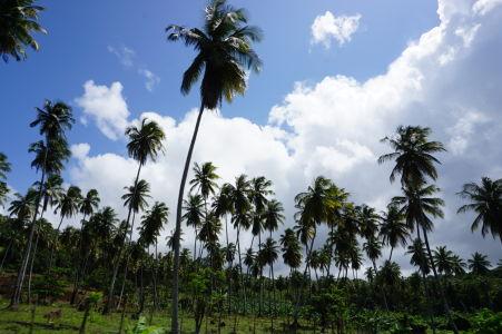 Palmové pole na Dominike