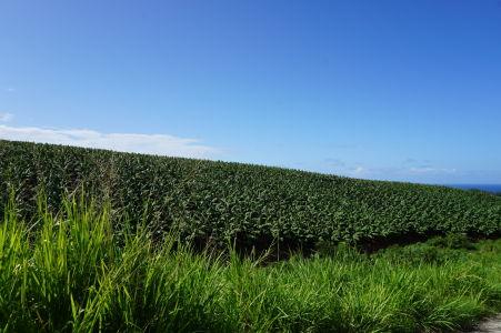 Banánové polia v okolí sopky Pelée
