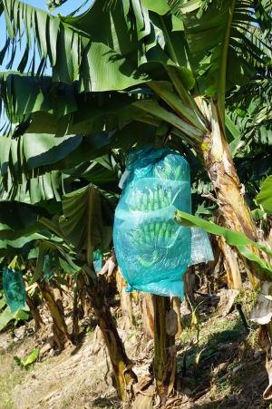 Banány sú balené do modrých igelitových vriec ešte na stromoch kvôli ochrane