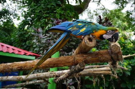 Papagáj ara v botanickej záhrade na Guadeloupe