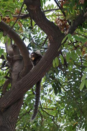 Opička v parku v meste si pochutnáva na maškrte od taxikára