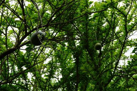 Citrusové plody v botanickej záhrade na Guadeloupe