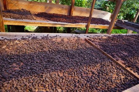 Zrnká vylúskané z kakaových bôbov, z ktorých neskôr bude získaný kakaový prášok pre výrobu čokolády