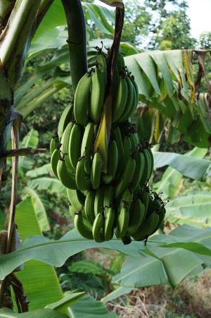 Na Dominike sa darí rôznym exotickým plodinám