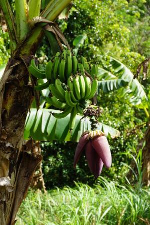 Na Grenade môžete vidieť ako vyzerá kvet banánovníka