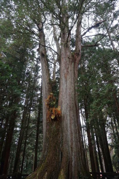 Prírodný park Ališan - strom číslo 1, starý 1500 rokov