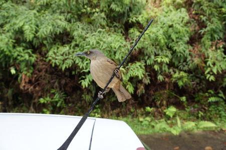 Miestne vtáky obliehajú autá návštevníkov v nádeji, že sa im ujde dáka dobrota