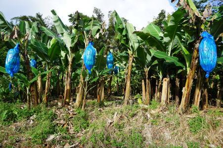 Prejazd horami stredom Grenady - Banánové plantáže kam len oko dohliadne (prečo sú banány v modrom igelite netuším)
