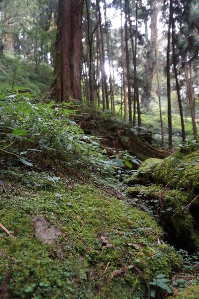 Machom obrastená zem v cyprusovom lese v Ališane