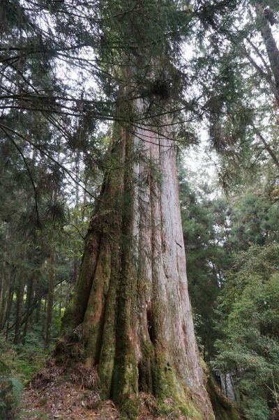 Prírodný park Ališan - strom číslo 12, vysoký 28 metrov a starý 1900 rokov