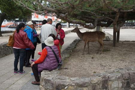 Jeleň číha na svoju príležitosť ukradnúť niečo turistom v Icukušime