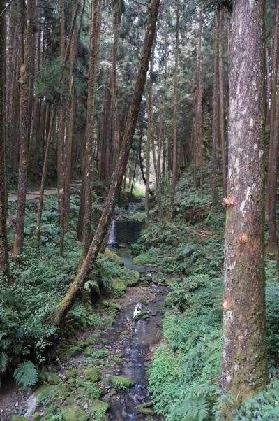 Červené taiwanské cyprusy v Ališane