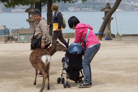 Jeleň dotiera na turistku v Icukušime