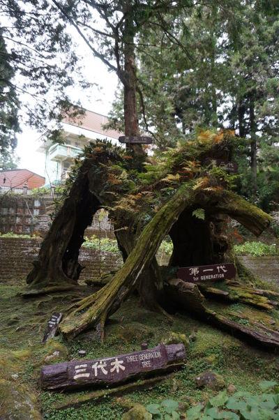 Trojgeneračný strom v Ališane - na pni pôvodného stromu vyrástol druhý a po jeho zrútení sa sa na jeho zvyšku uchytil tretí, ktorý tu rastie dnes