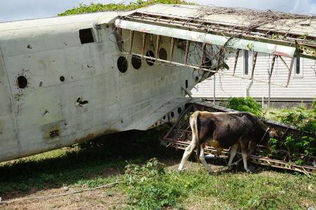 Krava a vrak lietadla An-2 na grenadskom letisku Pearl Airport