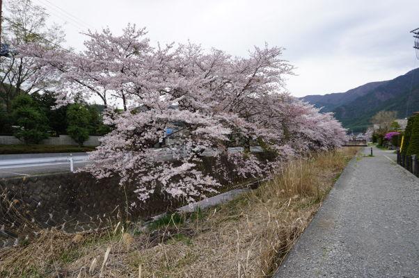 Rozkvitnuté stromy pri jazere Kavaguči